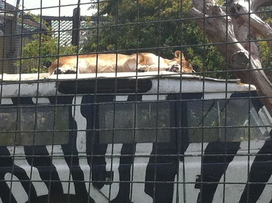 Isle of Wight Zoo: lioness kipping