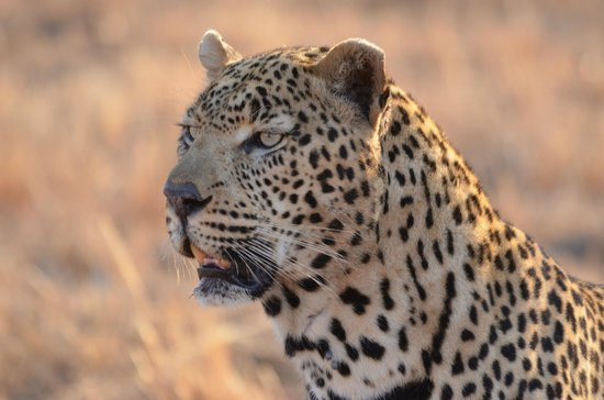 Leopard Hills Private Game Reserve: One of the stars of the weekend! - a beautiful example of a  Leopard