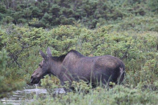Cape Breton Highlands National Park : Moose along Benjie's Lake trail