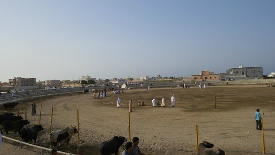 Barka Bull Fight Arena