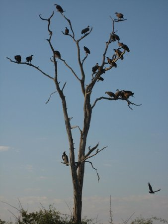 Thornicroft Lodge : Full vultures