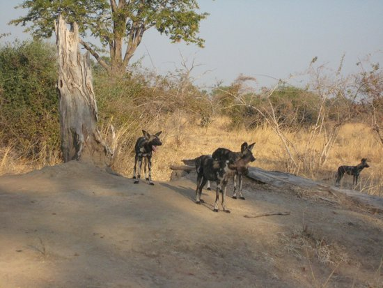 Thornicroft Lodge: Wild dogs