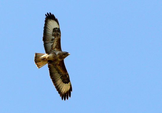 Hermitage Court Farm: Buzzard up above the house