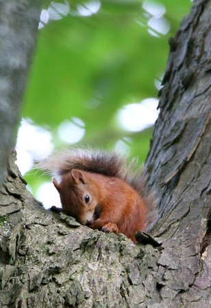 Hermitage Court Farm: Red Squirrel in the forest at the top of the drive