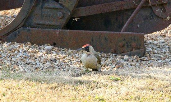 Hermitage Court Farm: Green woodpecker