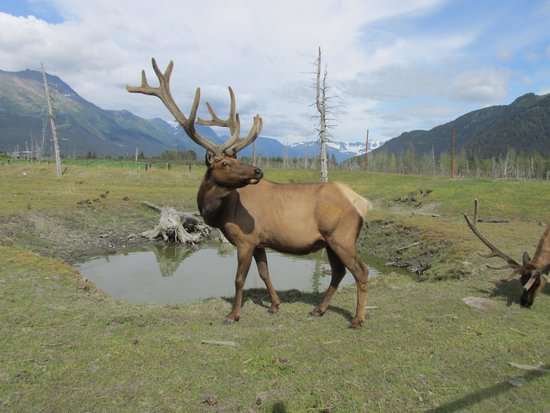 Alaska Wildlife Conservation Center: Elk with a hint of the fence.