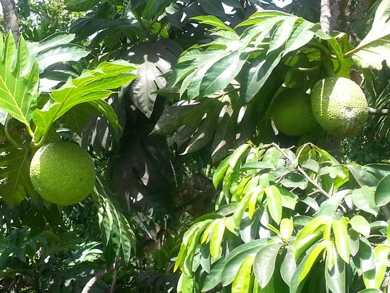 Tranquility Annexe: A big favourite with your host Selwyn Hobson. Breadfruit, breadfruit, breadfruit !