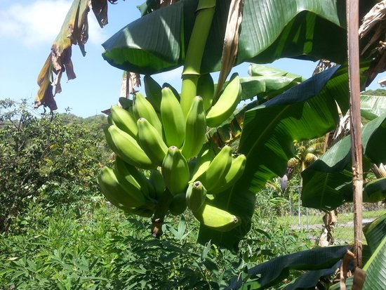 Tranquility Annexe: Plantin (or green bananas) are a-plenty, if you fancy some then ask your host, special rates for