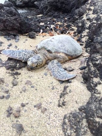Waikoloa Beach Marriott Resort & Spa: One of four sea turtles we saw on the beach at the resort.
