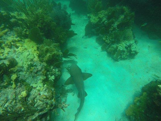 Starfish Snorkeling: nursing shark!