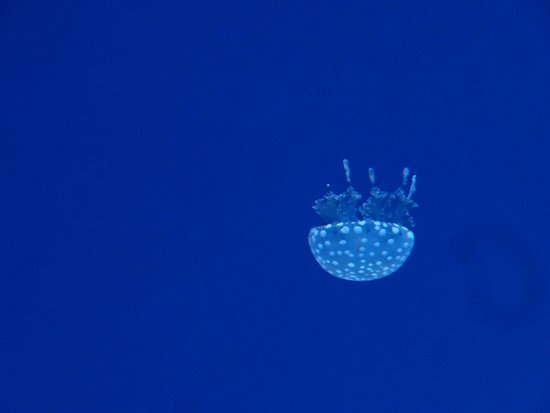 Ripley's Aquarium Of Canada: lonely little jelly