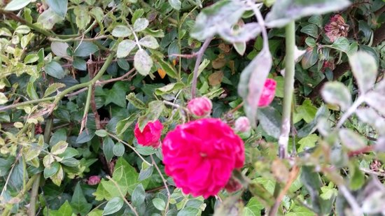 Woodland Villa Country Cabins: Beautiful roses on the grounds