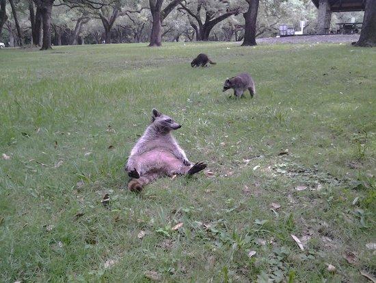 Greynolds Park: Raccons