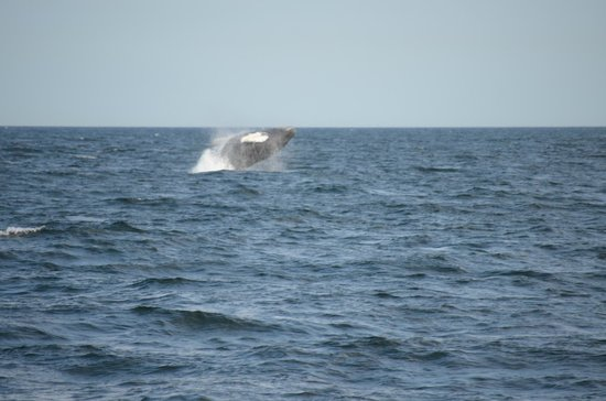 Dolphin Fleet Whale Watch : Picture of a whale breaching close to our ship