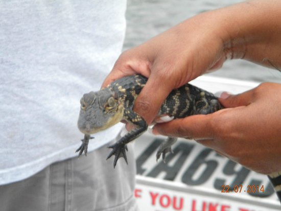 Airboat Adventures : Baby gator