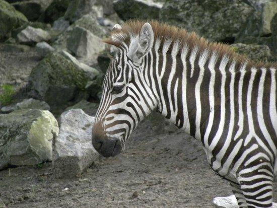 Northern Zoo: Zebra close-up