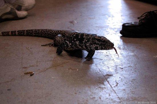 The Reptile Guy: Mr. Tegu talking a stroll