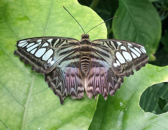 Sachs Butterfly House : Butterfly
