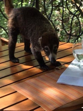 Four Seasons Resort Costa Rica at Peninsula Papagayo: This sweet Coati came to visit us, (from then on all sugar & food items were never left out:)