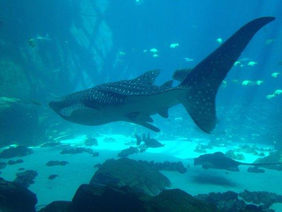 Georgia Aquarium: Cool whale shark!