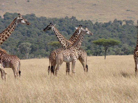 Governor's Camp Day Tours: Giraffe on the savannah