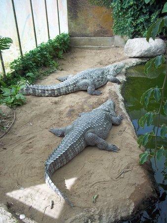 Thrigby Hall Wildlife Gardens: Alligators