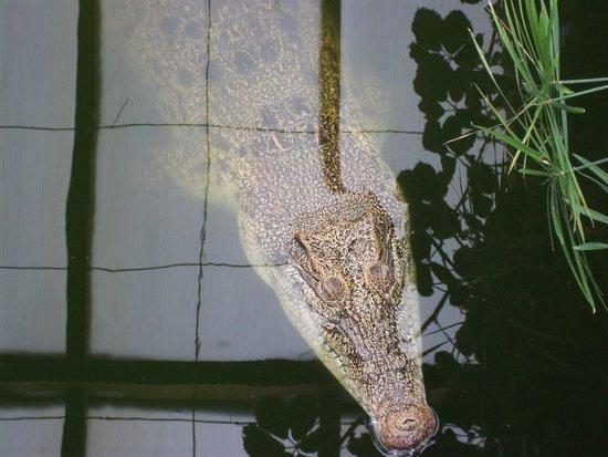 Thrigby Hall Wildlife Gardens: Crocodile