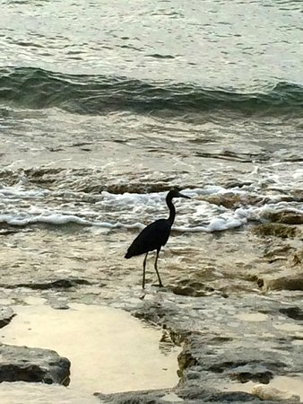 Renaissance St. Croix Carambola Beach Resort & Spa: Bird on beach