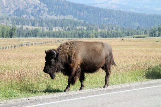 Snow King Resort : Buffalo we met on the way to the Hotel