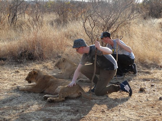 Ilala Lodge : Walking with Lions