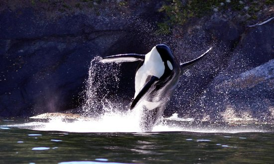 Western Prince Whale Watching : orca