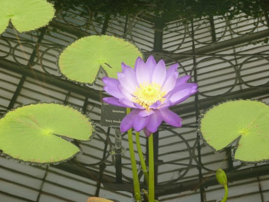Queen Charlotte's Cottage: Water Lily at the Waterlily enclosure