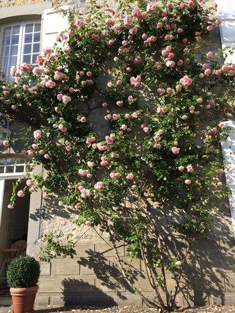 Maison Darthezenea : Mr le rosier Pierre de Ronsard ®