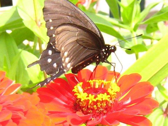 Pisgah View Ranch: Butterfly