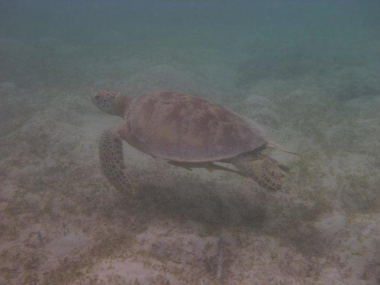 Uepi Island Resort : Turtle