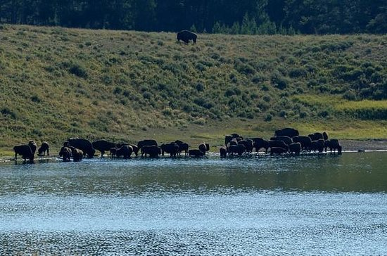 Storm Point Trail: Bison along Indian Pond