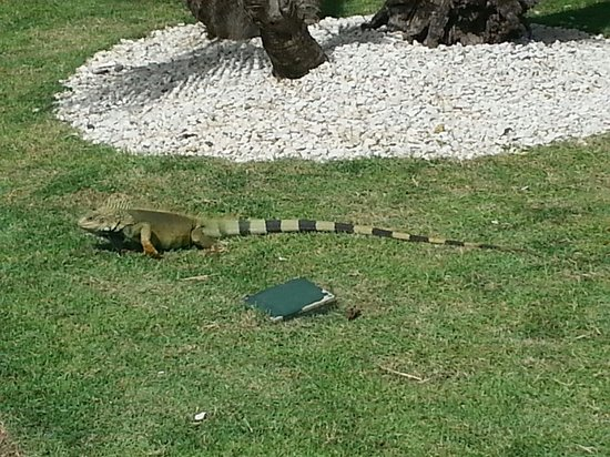 Melia Coco Beach : Iguanas city