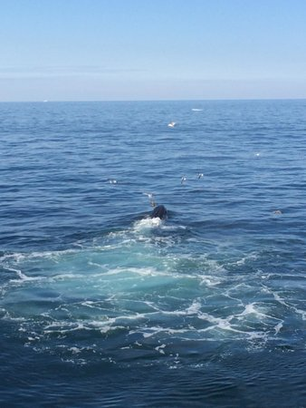 Hyannis Whale Watcher Cruises : Humpbacks feeding