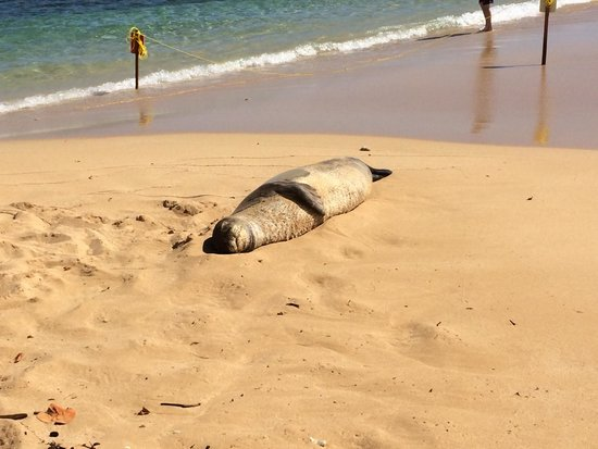 Poipu Beach Park: Seal snoozing on beach