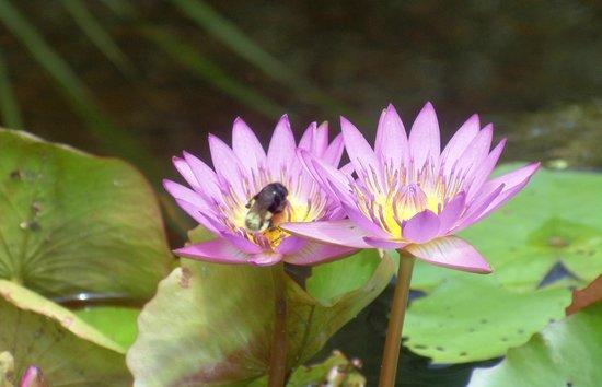 Brookgreen Gardens: water lilies