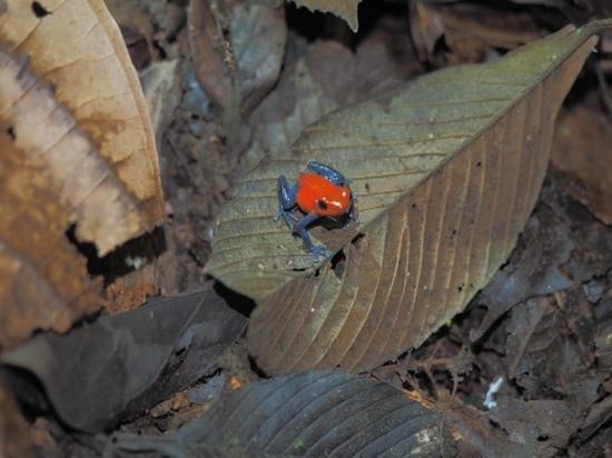 Arenal Oasis Wildlife Refuge: blue jeans frog