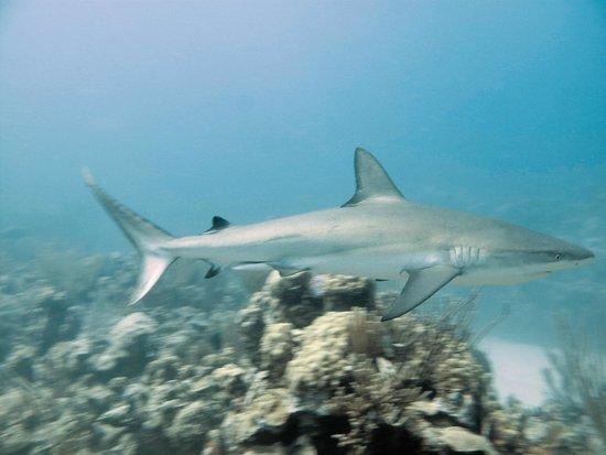 Beaches Turks & Caicos Resort Villages & Spa: Reef Shark