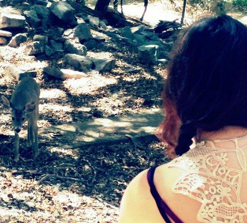 Ramsey Canyon Preserve: Curious deer walking towards us.
