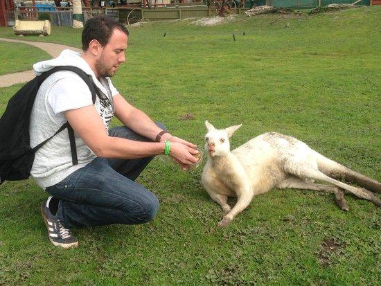 Maru Koala and Animal Park: Feeding the roos