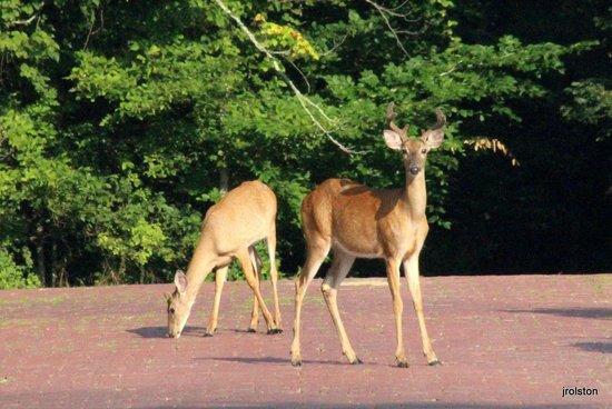 West Baden Springs Hotel: Deer the parking lot
