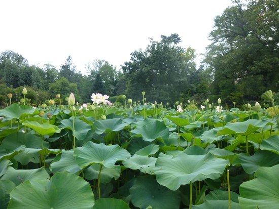 Villa Taranto: lotos pond