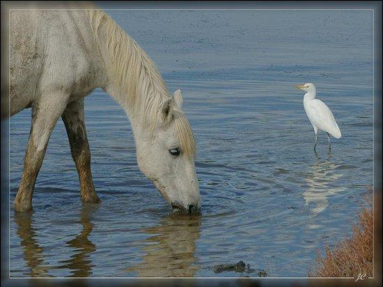 Cheval Camargue et garde boeufs - Photo de Le Parc Ornithologique de ... 47a67277f18