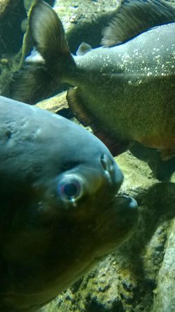 The Deep : Piranha