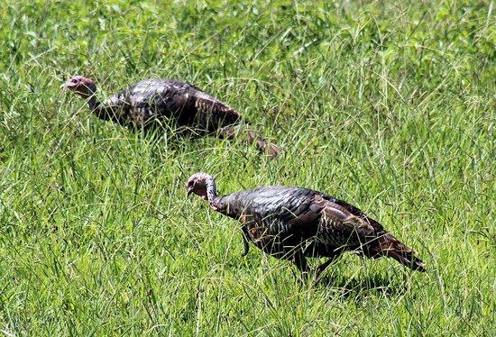 Reflection Riding Arboretum & Nature Center: Wild turkeys