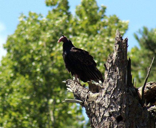 Reflection Riding Arboretum & Nature Center: Turkey vulture